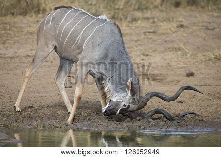 Kudu bull with huge horns drink water at a pool