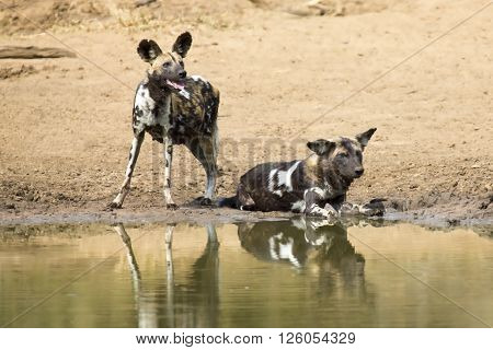 Two wild dogs rest next to a waterhole to drink some water
