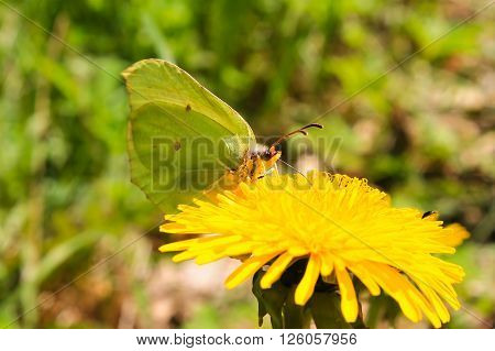 The common  Brimstone  drinking nectar. This common  brimstone is drinking nectar from a dandelion on a sunny day