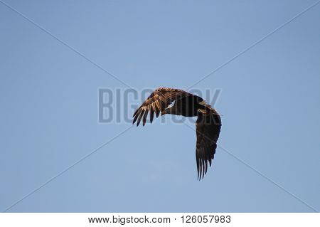 White-tailed Eagle rising above to the sky. This White-tailed Eagle left on a tree branch and flies to its own heights