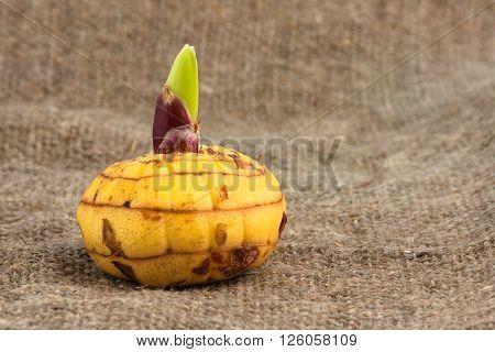 yellow bulb of gladiolus on burlap background closeup
