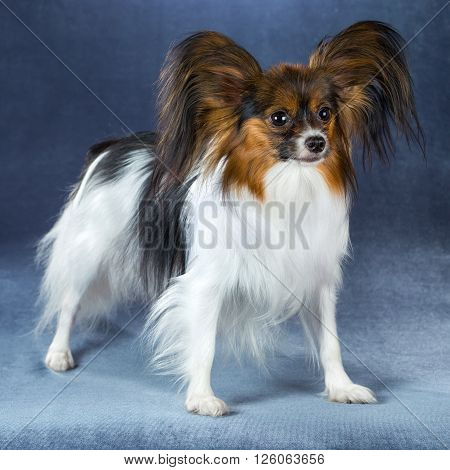 Beautiful dog breeds Papillon standing on a blue background