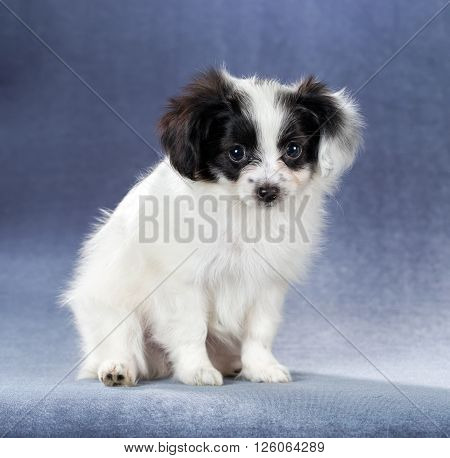 Portrait of a cute puppy Papillon sitting on a blue background
