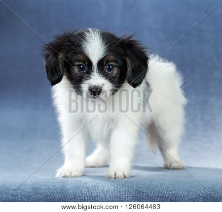 Portrait of a cute puppy Papillon standing on a blue background