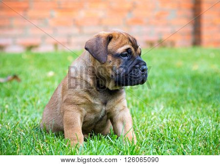 Bullmastiff puppy sitting on a green grass