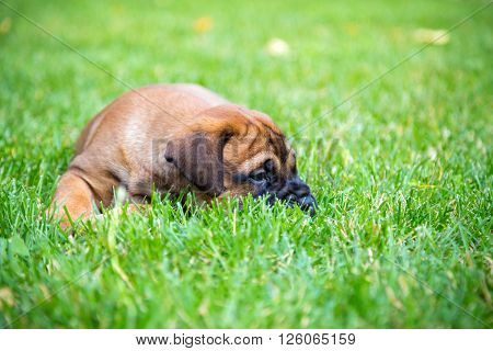 Bullmastiff puppy lying on a green grass