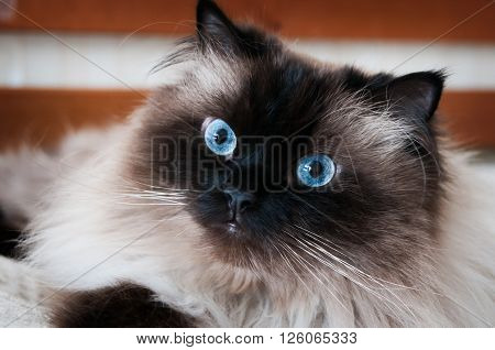 himalayan cat looking at viewer with big blue eyes against