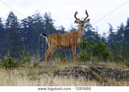 Buck Deer With Antlers