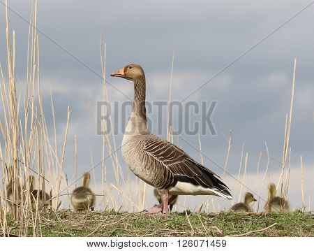 Greylag mother standing guard by her goslings