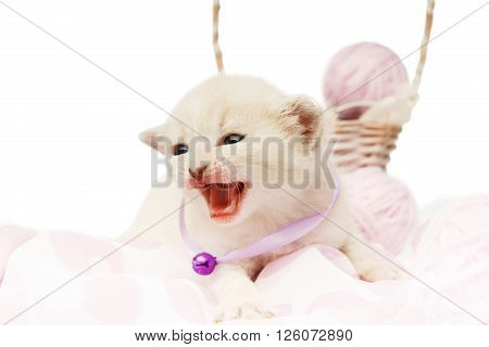 White kitten growling. Cute kitten in a mauve violet collar with woolen yarn balls in a basket isolated at white background. Adorable brave pet. Small heartwarming kitten. Little cat. High key