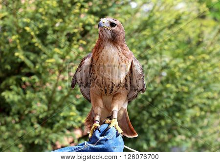 American Chickenhawk Perched On Gloved Hand