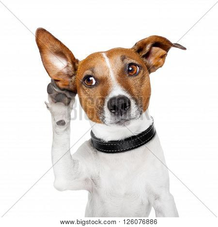 dog listening with big ear isolated in white background