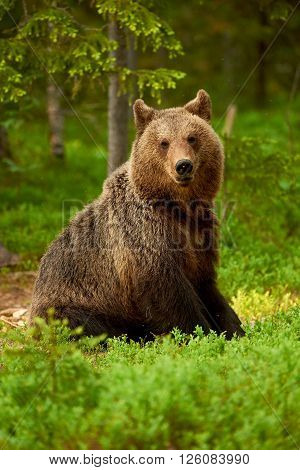 Wild brown bear sitting among the blueberries in the taiga from Finland