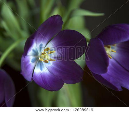 Purple tulip during spring season