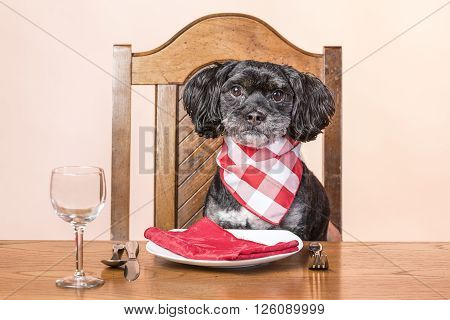 Dog at the table. A concept image of a mixed poodle and lhasa apso sits patiently at the dinner table.