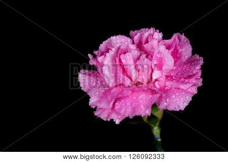Carnations Flower With Water Drop On Black Background