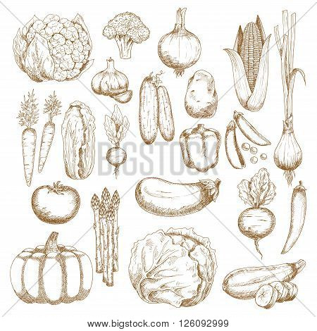 Tomato, carrots and onion, eggplant, chilli and bell peppers, corn, broccoli and pumpkin, cabbage, cucumbers and potato, cauliflower, pea and beet, zucchini and garlic, chinese cabbage, scallion, asparagus and radish vegetables sketches