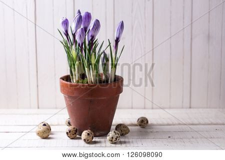 Fresh spring flowers crocuses in old terracotta pot and quail eggs on white wooden table. Still life photo. Selective focus.
