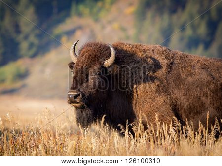 The American bison, also commonly known as the American buffalo.