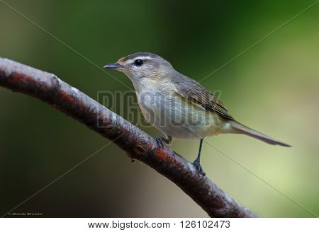 The warbling vireo is a small North American songbird
