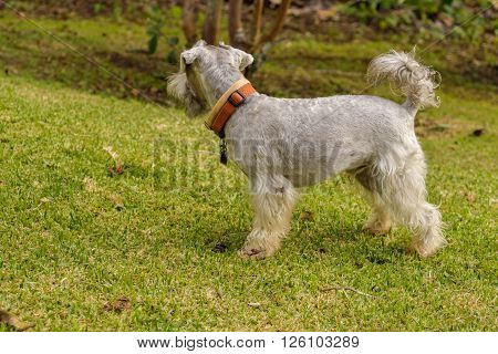 Gray schnauzer with a tail on a green field