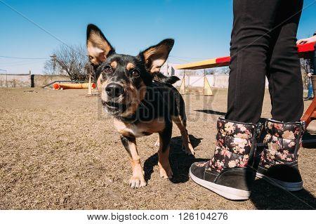 Angry black color mixed breed dog barking at training.