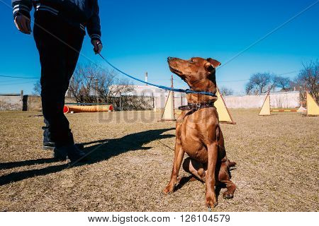 Funny Cute Brown Miniature Pinscher Pincher Outdoor on Agility Training