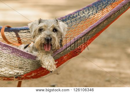 Schnauzer dog chilling on a hammock at the beach