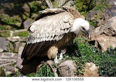 griffon vulture in a zoo in Summer