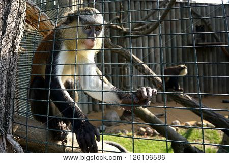 caged monkey in a zoo in Summer