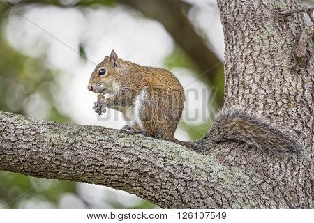 An eastern gray squirrel rests on a tree branch while feeding.