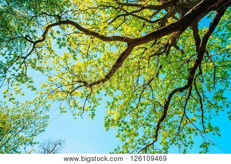 Canopy Of Tall Growing Oak Tree with Fresh Foliage in Spring Summer. Deciduous Forest, Summer Nature, Sunny Day. Upper Branches Of Tree. Low Angle View. Woods Background.