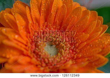 Beautiful orange daisy gerbera flower with waterdrops