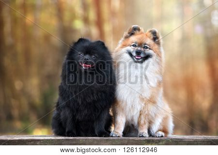 two adorable spitz dogs sitting together outdoors