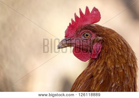 Hen on the farm, a portrait in the field