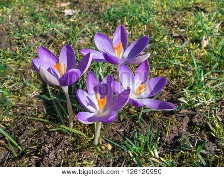 Four purple crocuses with orange pistils blooming on a meadow