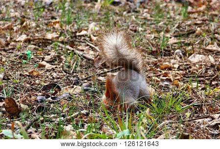 with fluffy ears squirrel hides nuts in the ground, the whole body arched, pushing him deeper, so that nobody can find, stock up for the winter