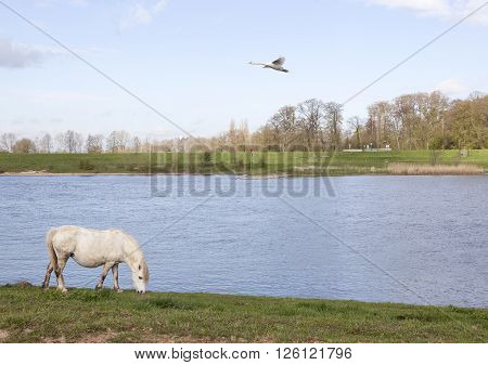white horse grazes on embankment of river rhine near wijk bij duurstede and swan flies by