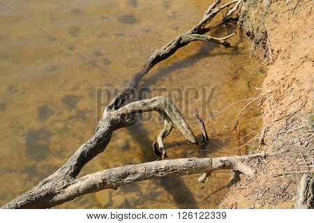 crooked bare root above the water surface