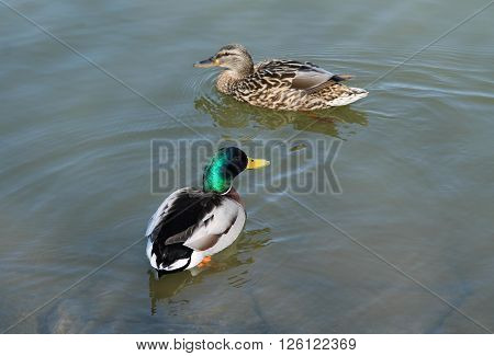 couple of mallard ducks swimming in the pond