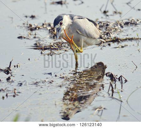 Black-crowned Night Heron in Florida Wetlands