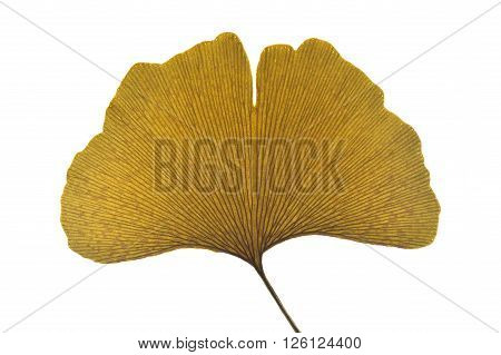 Dried ginkgo leaf on a white background