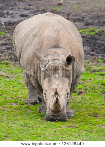 Black Rhinoceros, Diceros bicornis, grazing in the grass. Detailed front view.