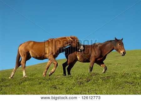 Frolicking Horses