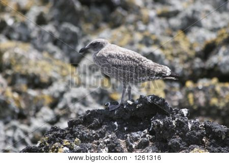 Gulls 03