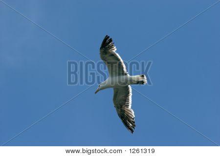 Gulls 06