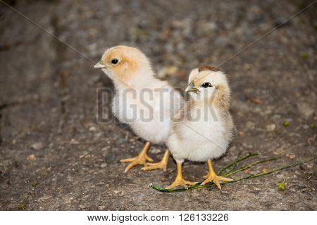 Baby Chicken is Young Bird Farm Small Bird Animal.