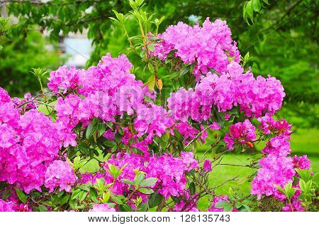 Many flowers of Rhododendron Azalea in Vancouver Stanley park. Canada.