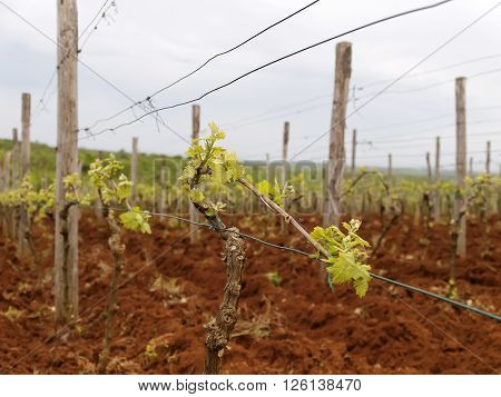 cultivation vineyard in Istria in early spring