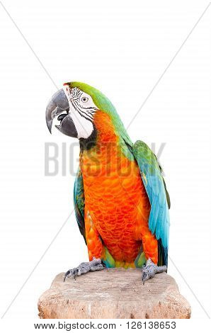 parrot standing on dry wood isolated over white